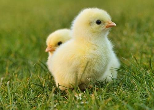 chicks-5014152_640