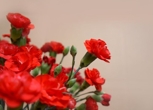 carnations-3200027_640