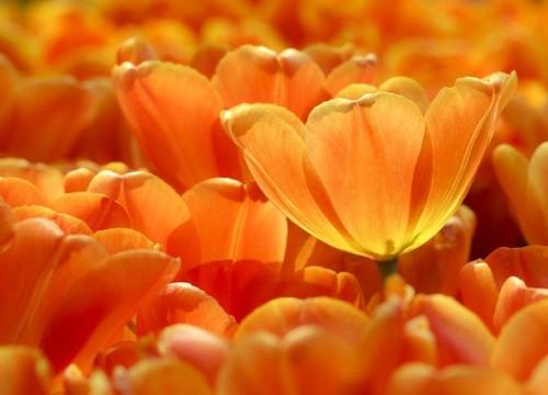 tulips-5902188_640